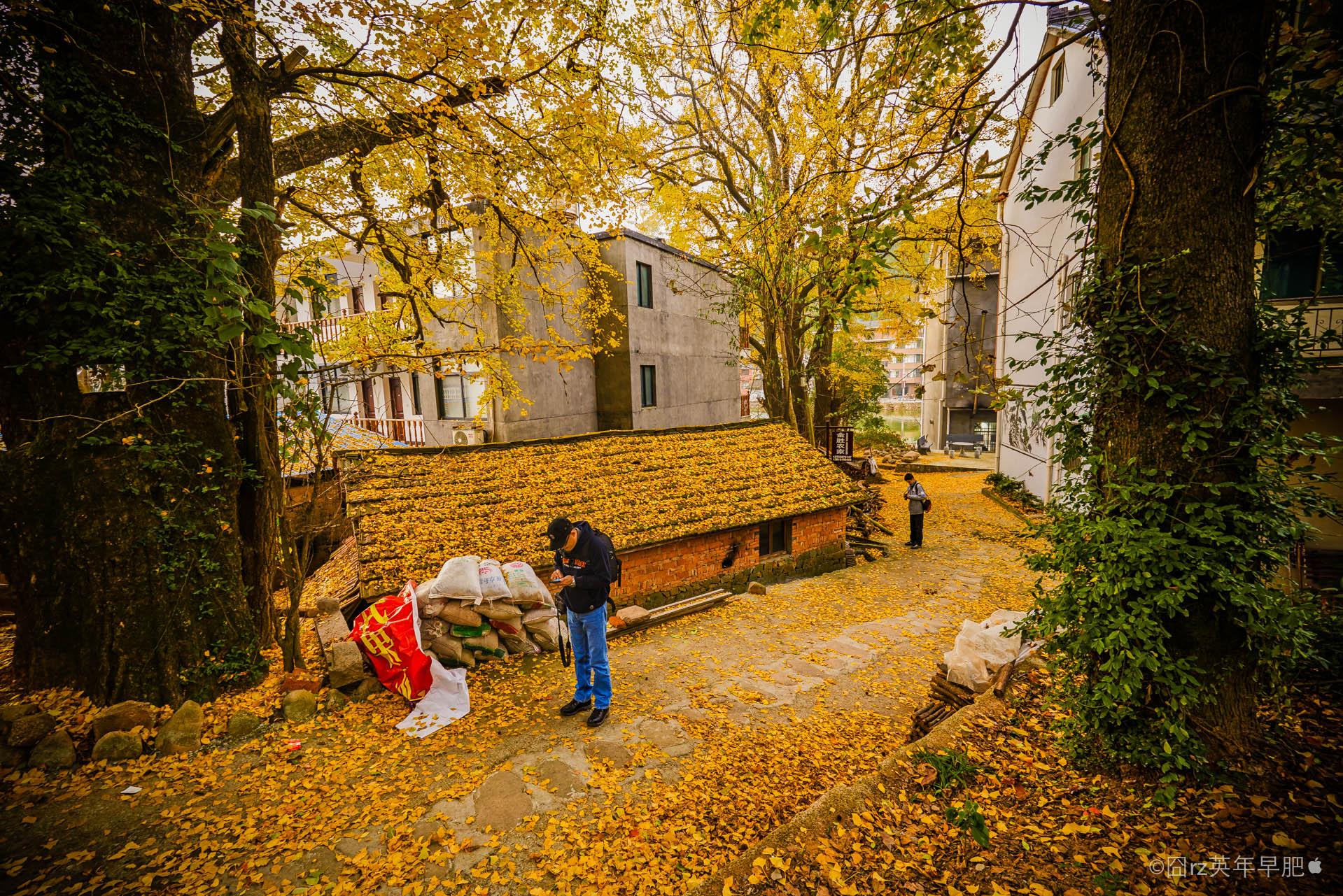 古树300多株,枫树,银杏,石楠,叶子由绿变成红,黄,橙等色彩分明绚烂.